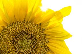 sunflowermandala